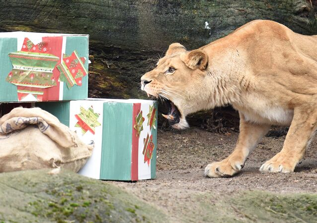 لبؤة وهدايا عيد الكريسماس في حديقة الحيوانات في هامبورغ، ألمانيا 23 ديسمبر/ كانون الأول 2016