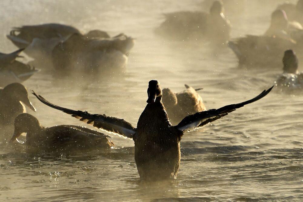 البط يقلع من سطح مياه نهر ياوزا في إحدى ضواحي موسكو، ودرجة الحرارة 24 تحت الصفر، 7 يناير/ كانون الثاني 2017
