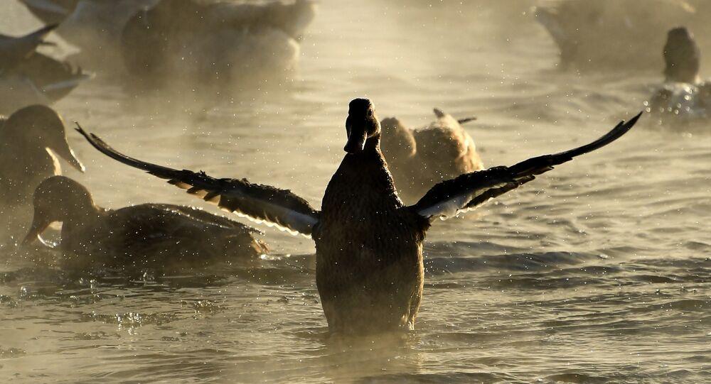 البط يقلع من سطح مياه نهر ياوزا في إحدى ضواحي موسكو، ودرجة الحرارة -24 تحت الصفر، 7 يناير/ كانون الثاني 2017