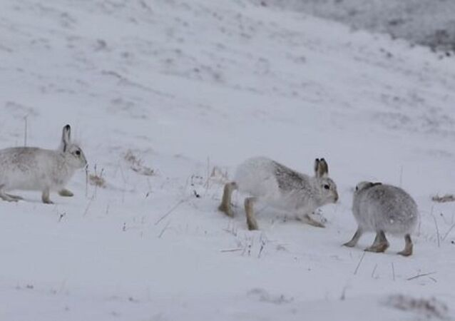 رقصة الزواج لدى الأرانب