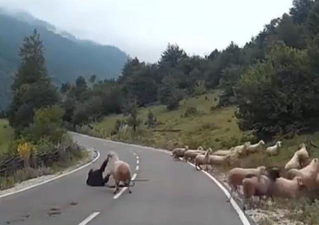 خروف ينتقم من امراة وسط الطريق
