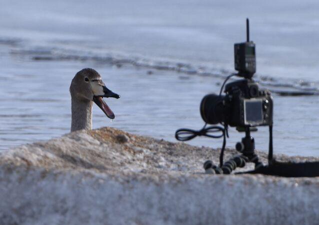 بجعة في بحيرة للبجع أمام الكاميرا في ألتايسكي كراي في روسيا