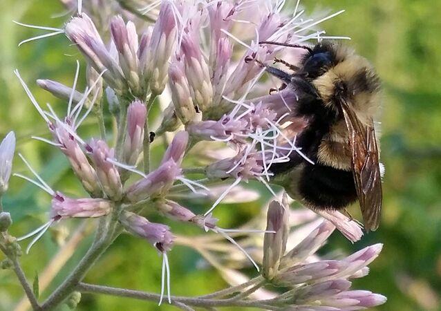 نحلة العسل