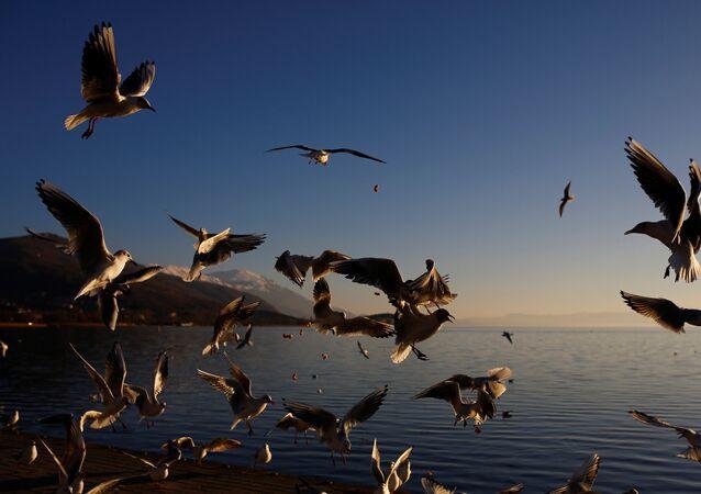 طيور النورس