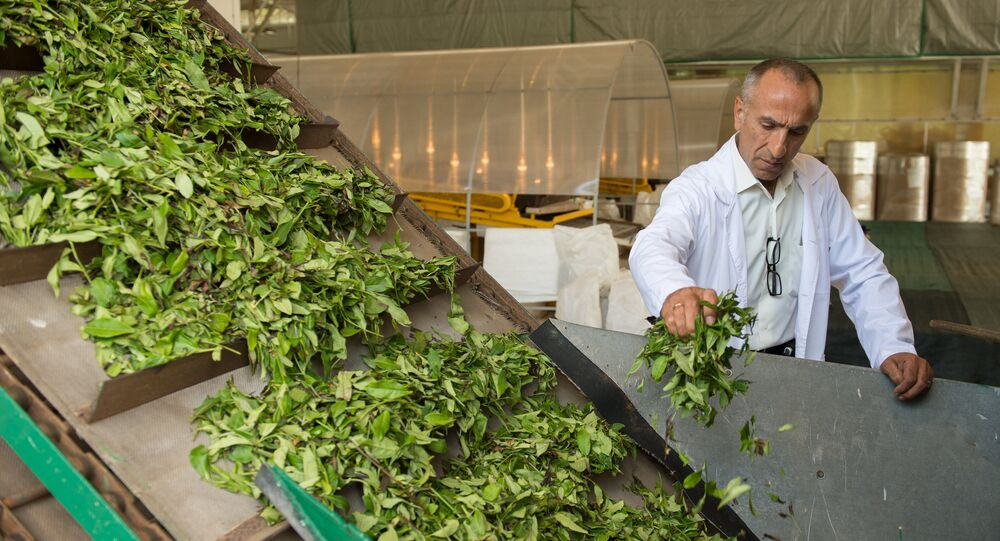 انتاج الشاي في سوجي