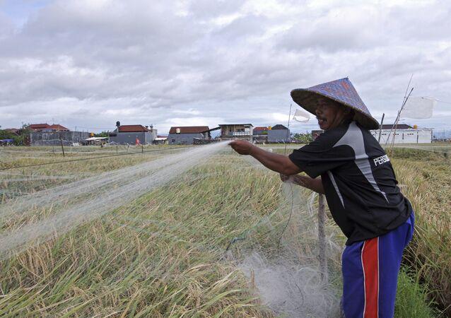 الزراعة في جزيرة بالي