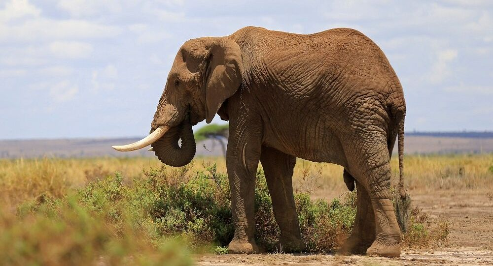 الفيل البري