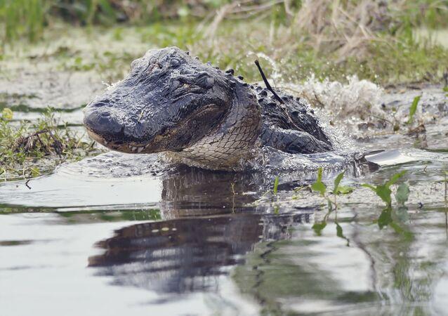 تمساح أمريكي