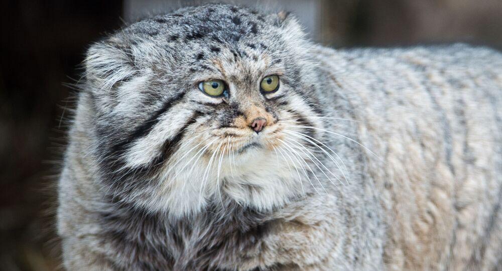 قط بالاس في حديقة موسكو للحيوانات، حيث كان الاحتفال باليوم العالمي للقطط