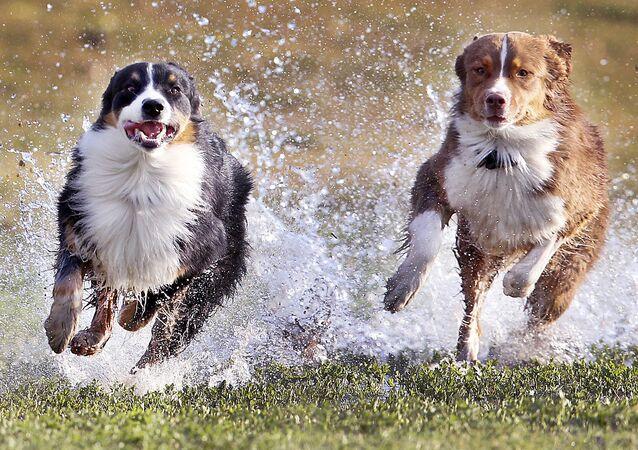 كلاب أسترالية من فصيلة شيفارد، فرانز (يسار الصورة) وليزي (يمين الصو