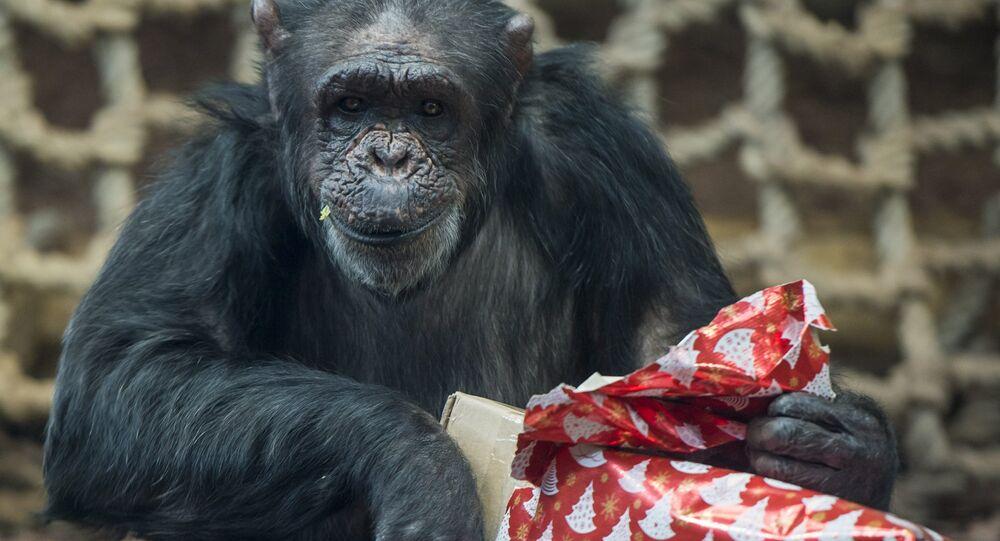 شيمبانزي