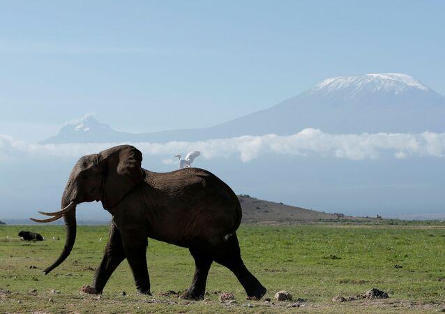 فيل يسير في حديقة أمبوسيلي ناشونال بارك على خلفية جبل كليمنجارو، كينيا 19 مارس/ آذار 2017