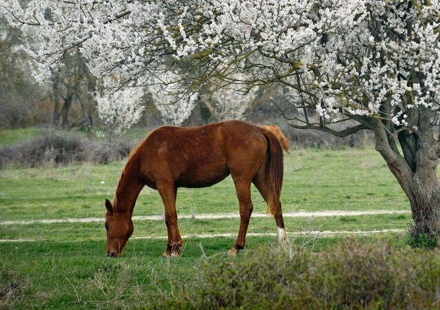 خيول على خلفية بساتين خضراء في القرم