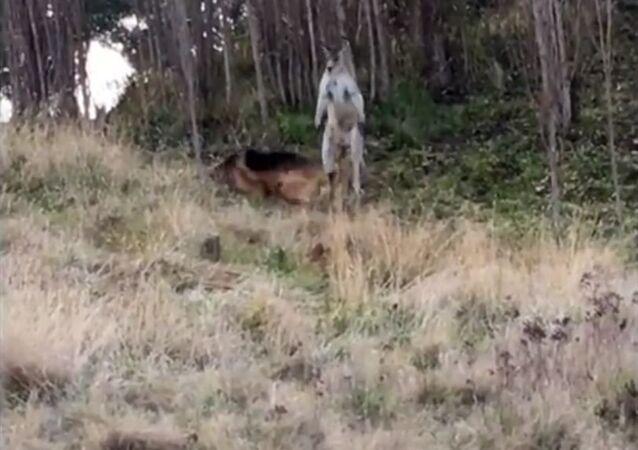 معركة بين كنغر و كلب في أستراليا