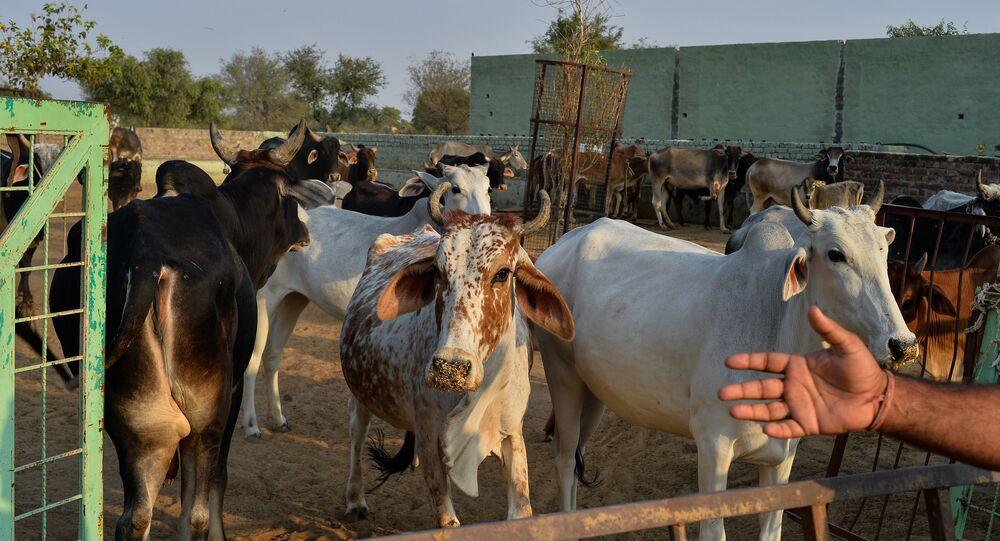 أبقار