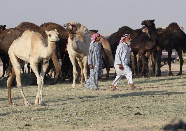 الإبل القطرية على الحدود السعودية