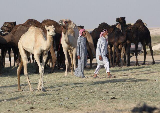 الجمال على الحدود القطرية - السعودية