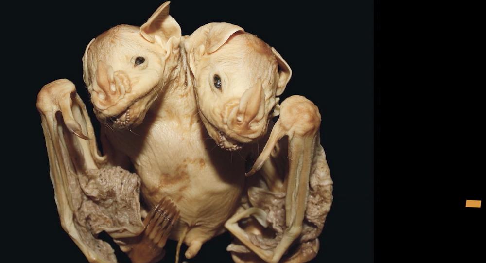 خفافيش برأسين... حالة فريدة ظهرة في البرازيل