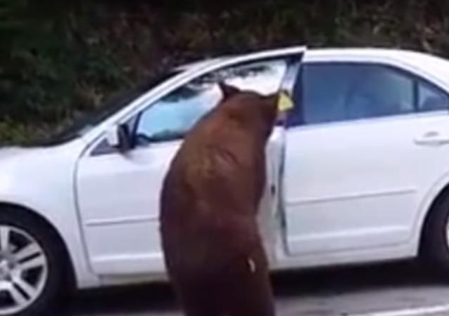 دب يفتح سيارة