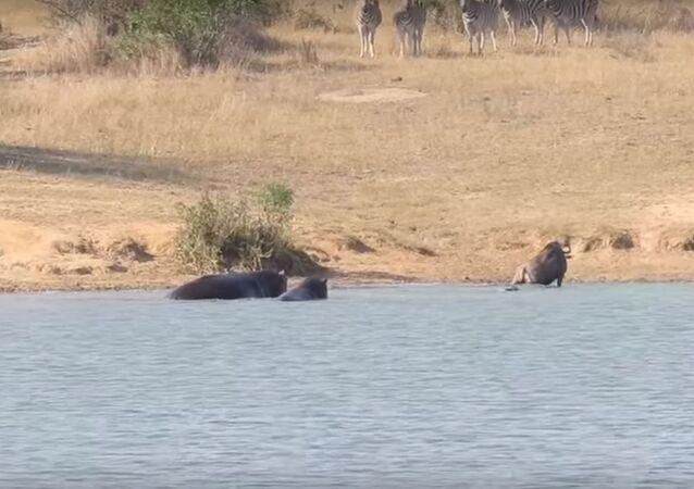 فرس النهر يساعد جاموس على التخلص من تمساح جائع