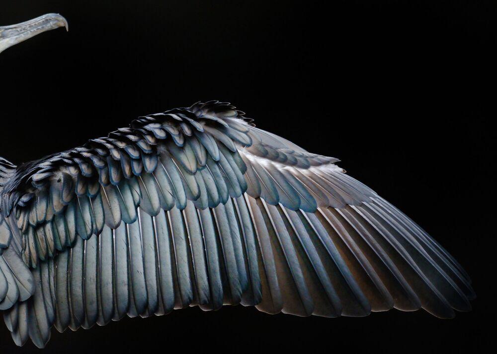 جائزة أفضل مصور طيور لعام 2017 - صورة لتفاصيل جناح طائر الغاق، في فئة الانتباه للتفاصيل للمصور توم هاينز