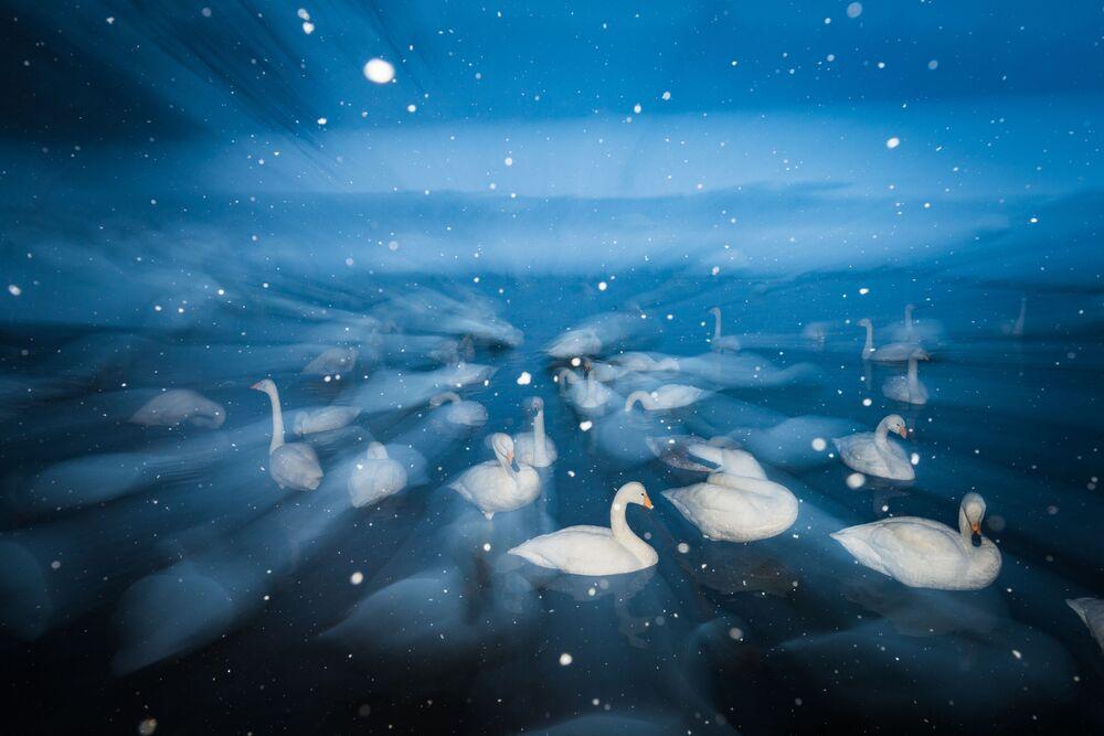 جائزة أفضل مصور طيور لعام 2017 - صور لمجموعة من طيور البجع أثناء عاصفة ثلجية، المرتبة الثالثة في فئة صور إبداعية للمصور ويم فان دين هيفير
