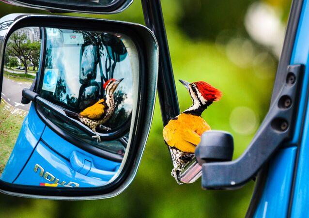 جائزة أفضل مصور طيور لعام 2017 - صورة لطائر نقار الخشب ينظر بتعجب إلى إنعكاسه في مرآة، في فئة طيور في بستان للمصور كلفين داو