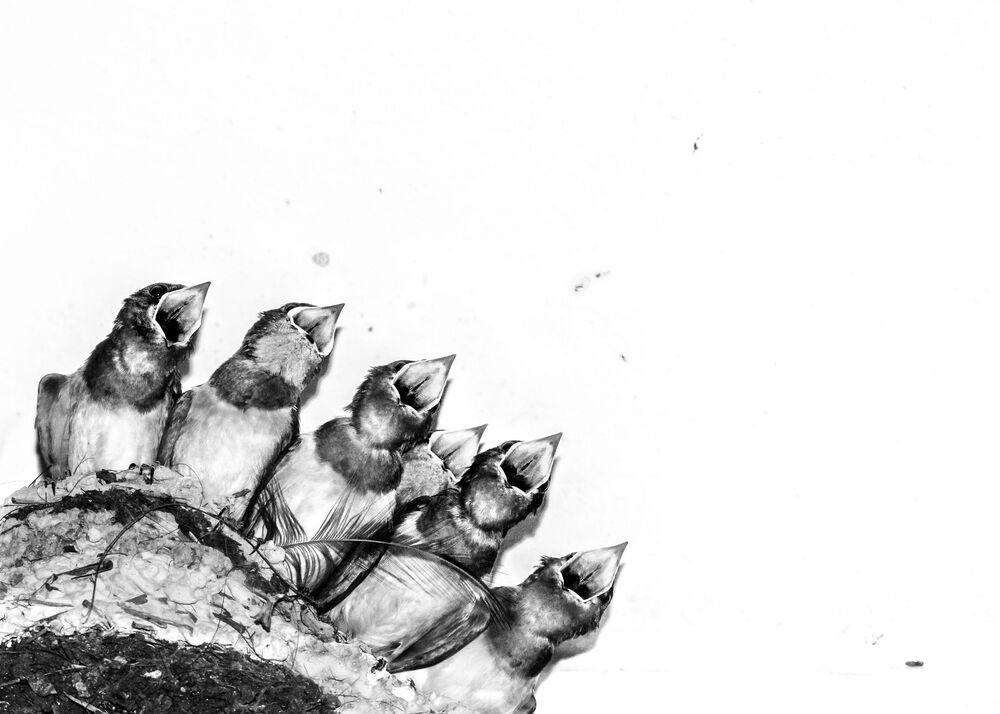 جائزة أفضل مصور طيور لعام 2017 - صورة لصغار الطيور في انتظار أمهم لإطعامهم، في فئة صور إبداعية للمصور جوزيف أنتوني