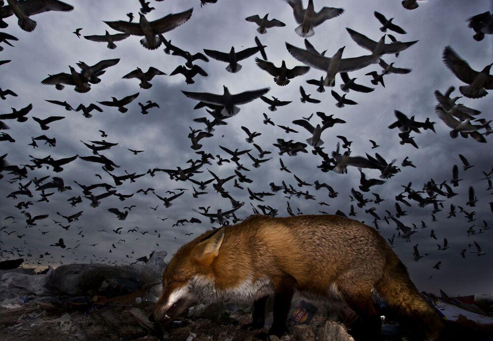 جائزة أفضل مصور طيور لعام 2017 - صورة لمجموعة كبيرة من النوارس تحلق فوق ثعلب، في فئة تحليق الطيور للمصور غابور كابوس