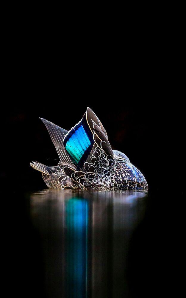جائزة أفضل مصور طيور لعام 2017 - صورة مميزة لطائر البط، في فئة صور إبداعية للمصور جيورجينا ستيلير