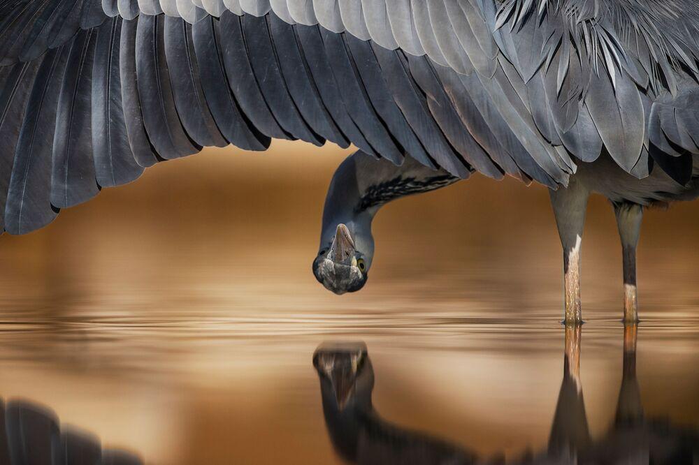 جائزة أفضل مصور طيور لعام 2017 - صورة لطائر بلشون الرمادي (أو المالك الحزين) ، المرتبة الثانية في فئة الانتباه للتفاصيل للمصور أحمد أليسا