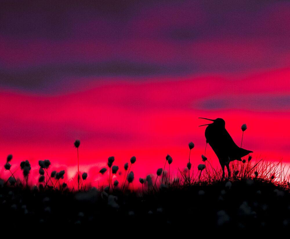 جائزة أفضل مصور طيور لعام 2017 - صورة لطائر شنقب الكبير (ويسمى جهلول الكبير)، في فئة الطيور والبيئة للمصور تورستن غرين-بيترسن