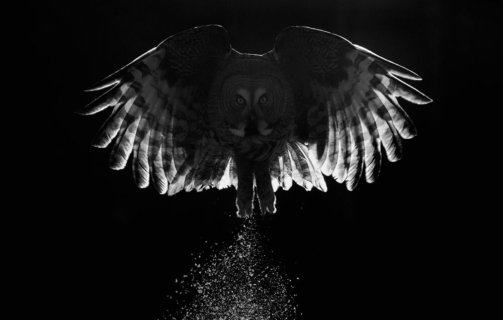 جائزة أفضل مصور طيور لعام 2017 - صورة لطائر البومة الرمادية العظمى، في فئة أفضل لوحة للمصور ماركوس فاريسيفو