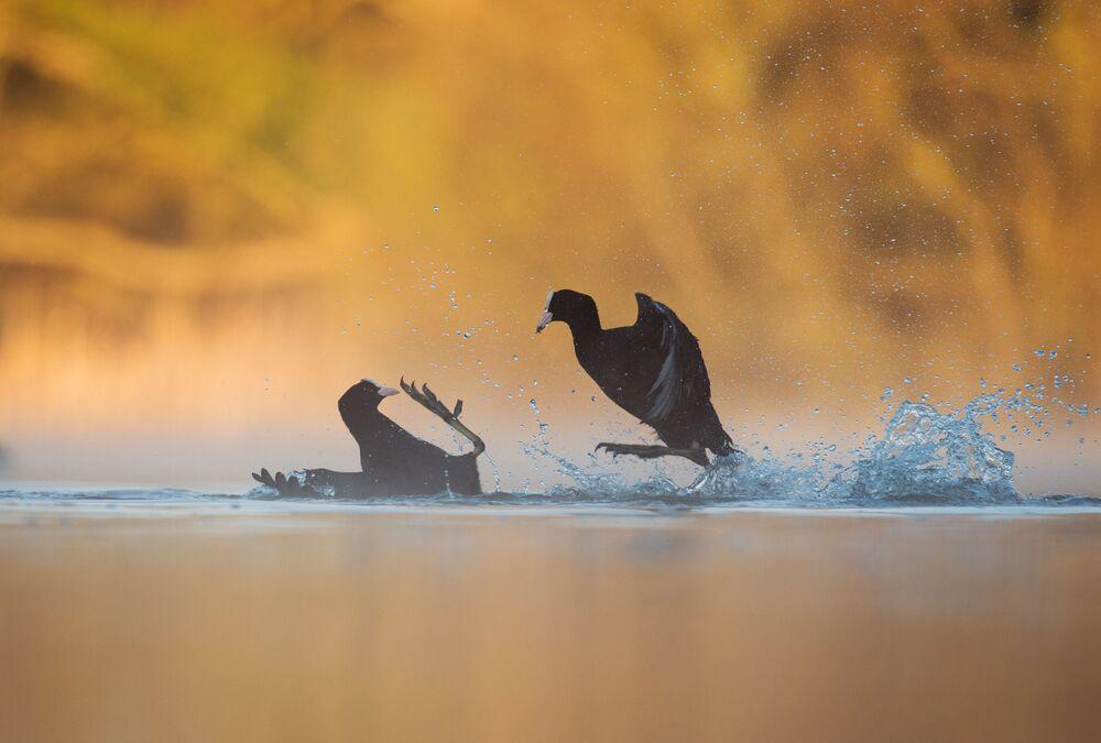 جائزة أفضل مصور طيور لعام 2017 - صورة لطائري الغرّة (أو الغرّاء) يتنازعان على حيز من المكان، في فئة تصرف الطيور للمصور أندريو باركنسون