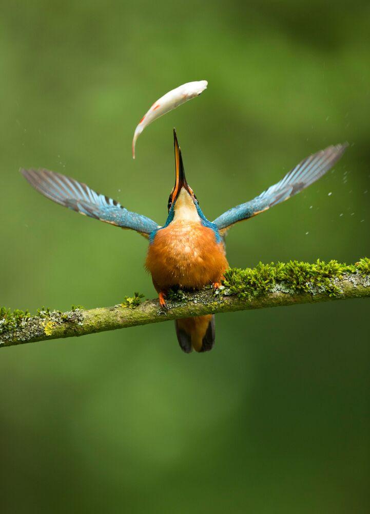 جائزة أفضل مصور طيور لعام 2017 - صورة لطائركينغ فيشر يصطاد سمكة، جائزة شرف من قبل الجمهور في فئة تصرف الطيور للمصور  فانس بورتون