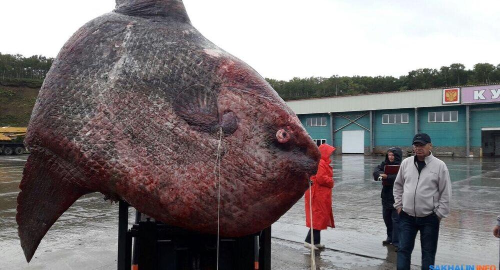 صيد سمكة ضخمة في سخالين