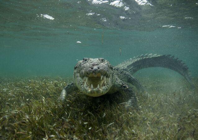 تمساح بحري أمريكي