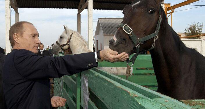 الرئيس فلاديمير بوتين يطعم خيلا في مزرعة نيكولايفسكايا في ساراتوفسكايا أوبلست، روسيا