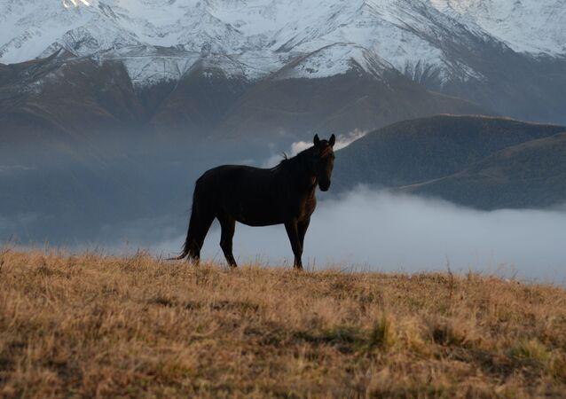 خيل في روضة جبلية بحي شارويسك في جمهورية الشيشان