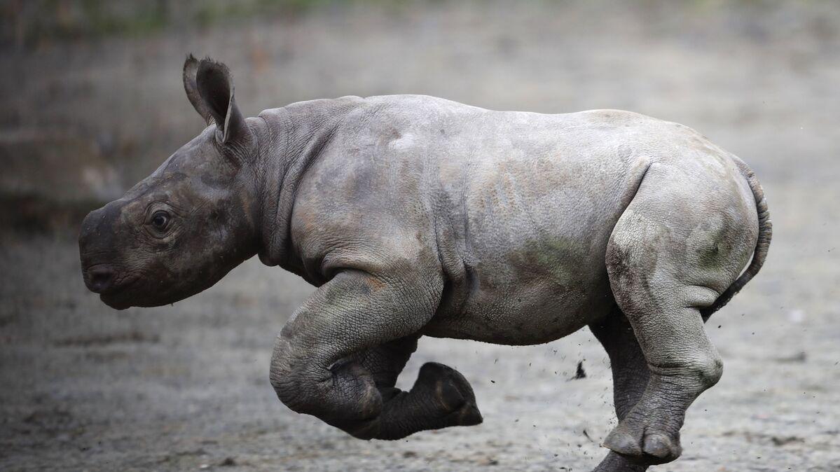 بالفيديو... مصر تحتفظ بآخر أنثى وحيد قرن في أفريقيا منذ 30 عاما - Sputnik  Arabic