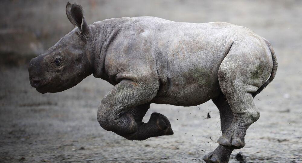 حيوان وحيد القرن حيدث الولادة في حديقة الحيوانات في دفور كرالوف، جمهورية التشيك 25 أكتوبر/ تشرين الأول 2017