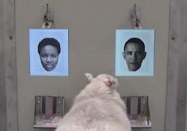 أغنام تتعرف على أوباما