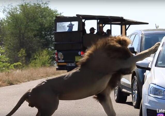 لحظة هجوم أسد على سيارة سياح