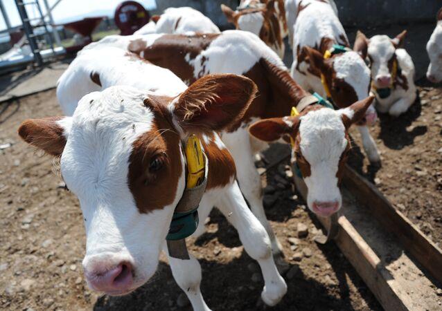 مزرعة أبقار في روسيا