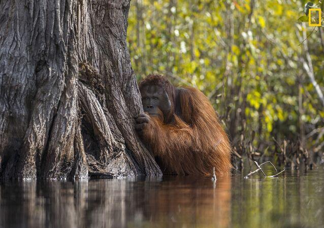 مسابقة ناشيونال جيوغرافيك للطبيعة لعام 2017 - المصور جايابراكاش جوعي بويان، صورة لـ إنسان الغاب وهو يعبر النهر في بورنيو بإندونيسيا