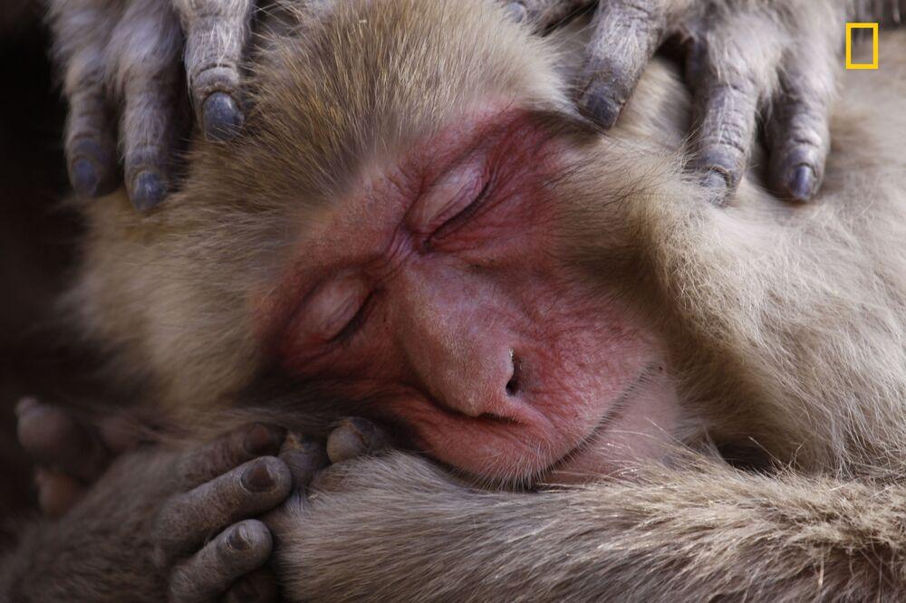 مسابقة ناشيونال جيوغرافيك للطبيعة لعام 2017 - المصور لانسي ماكميلان، صورة بعنوان قرد يستجم على أحد الينابيع الساخنة ( A Japanese macaque indulges in some grooming time on the shores of the famous hot springs. ) في اليابان