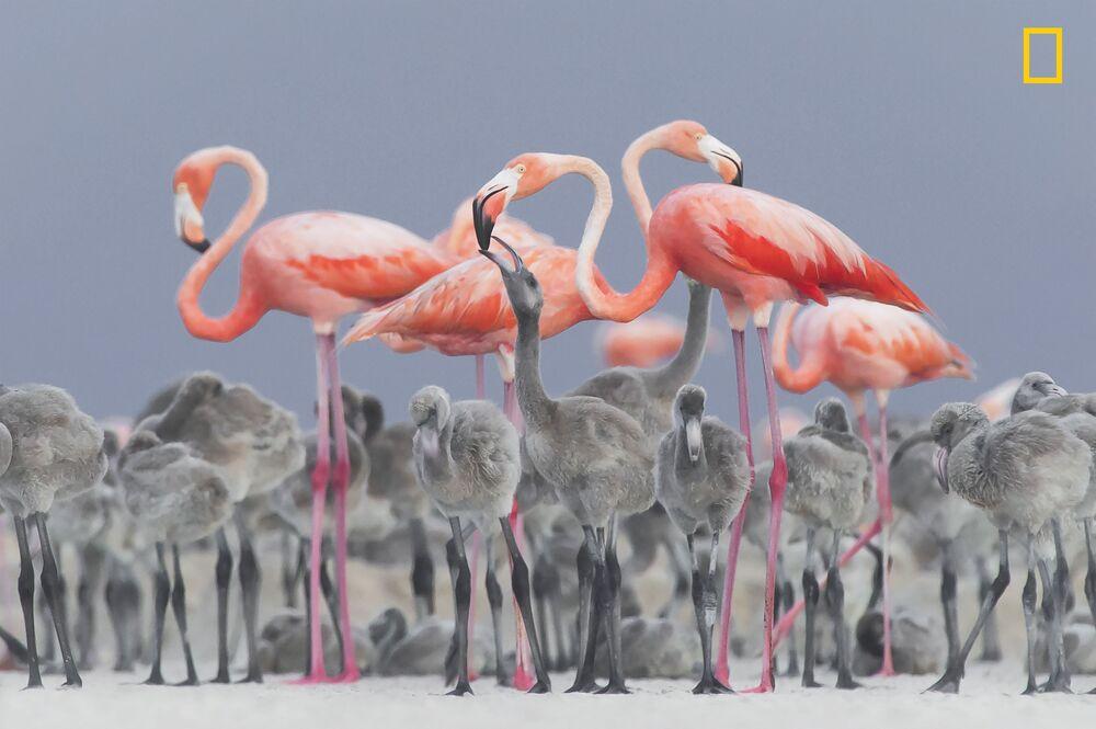 مسابقة ناشيونال جيوغرافيك للطبيعة لعام 2017 - المصور أليخاندرو بريتو، صورة بعنوان طائر الفلامينغو يطعم صغيره (Pink flamingos feeding their young)، المكسيك