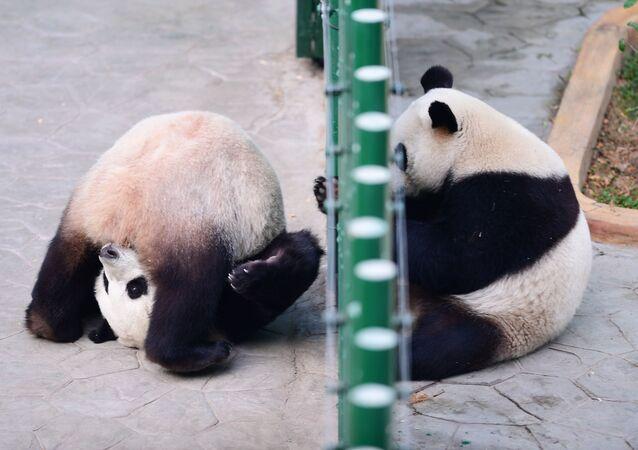 باندا تلعب في حديقة الحيوانات في شنيانغ، الصين 20 ديسمبر/ كانون الأول 2017