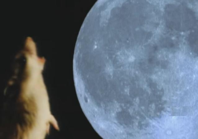 الفأر الذئب