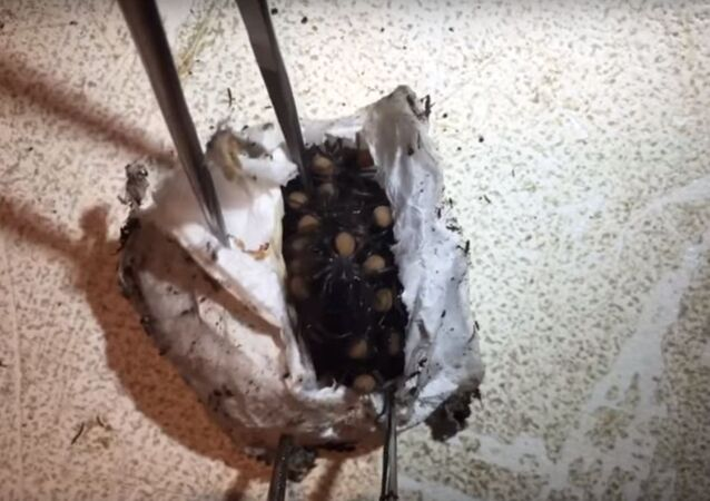 ولادة عناكب